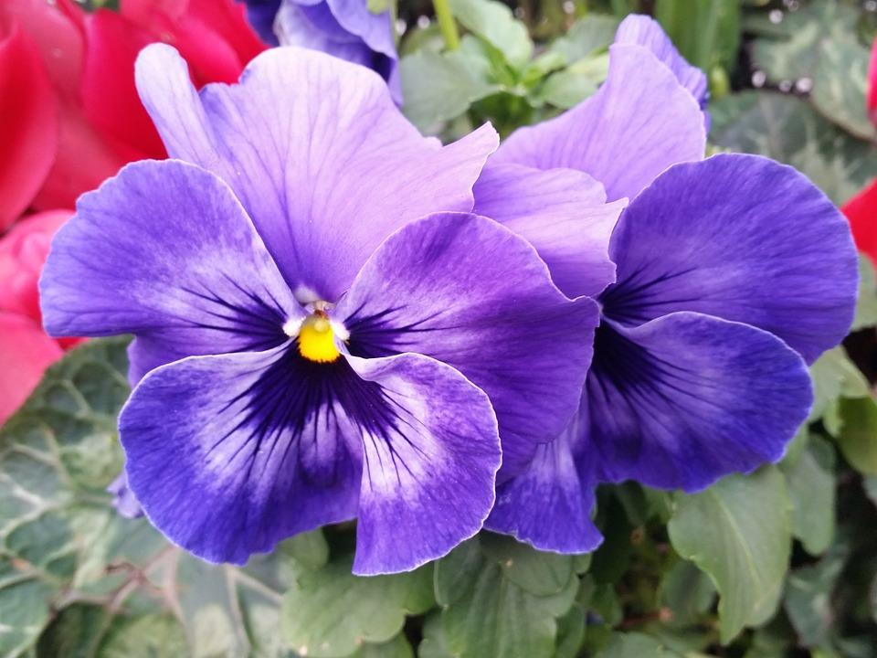 free photo pansy flower purple nature free image on