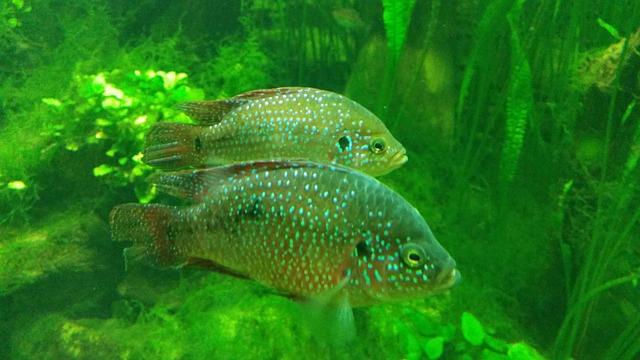 Free photo fish aquarium animal fishes free image on for White algae in fish tank