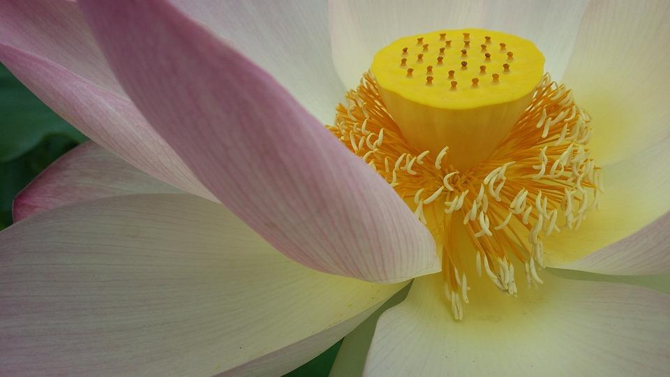 Lotus Buddhism Flower Free Photo On Pixabay