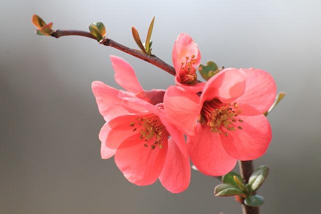 photo gratuite fleur printemps floraison en mars image gratuite sur pixabay 684440. Black Bedroom Furniture Sets. Home Design Ideas