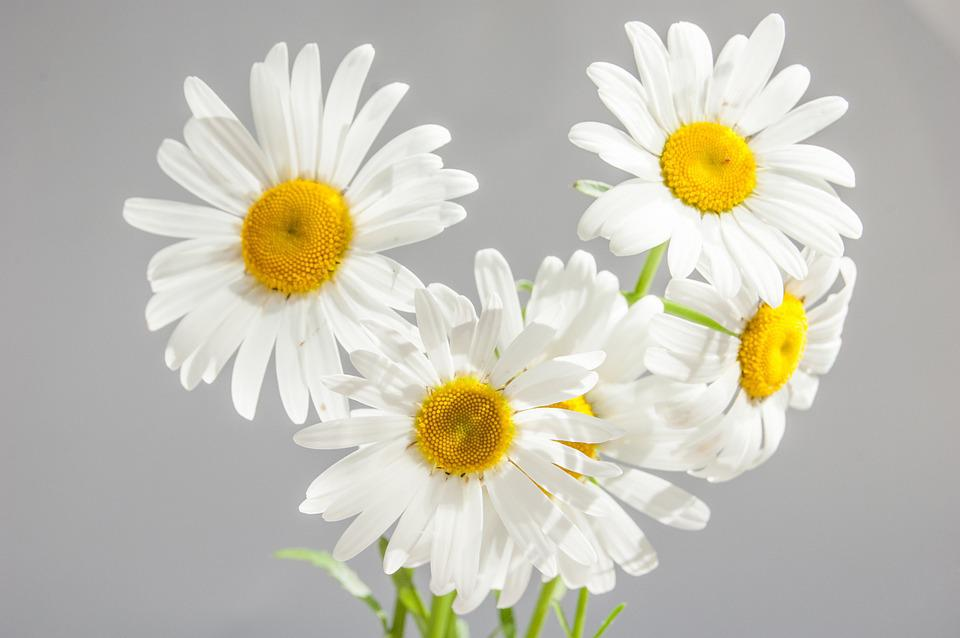 daisy  free images on pixabay, Beautiful flower