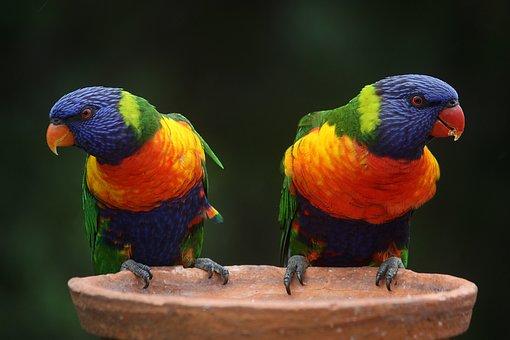 Rainbow Lorikeet Parrots Australia Rainbow