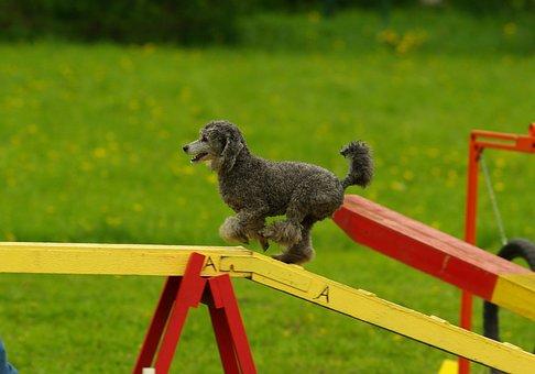 Agility, Dog, Animal, Sport, Pet
