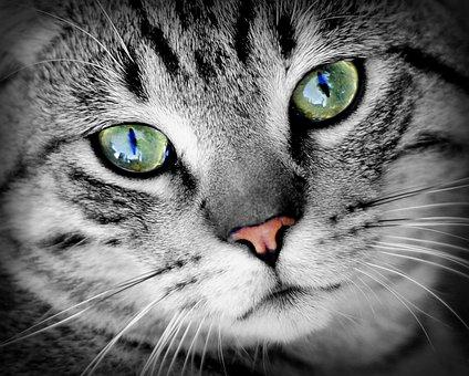 Katze, Tier, Tierportrait, Haustier