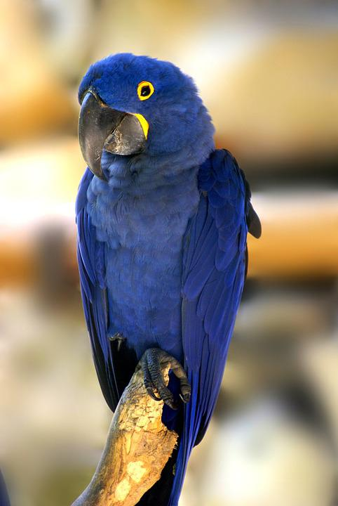 Top Arara Azul Pássaro Pássaros · Foto gratuita no Pixabay RP96