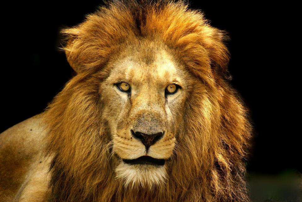 Photo gratuite lion f roce crini re image gratuite - Photos de lions gratuites ...