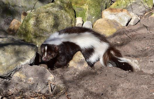 Skunk, Mammal, Black And White, Animal