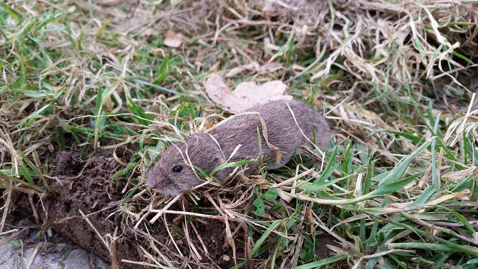vole in the grass
