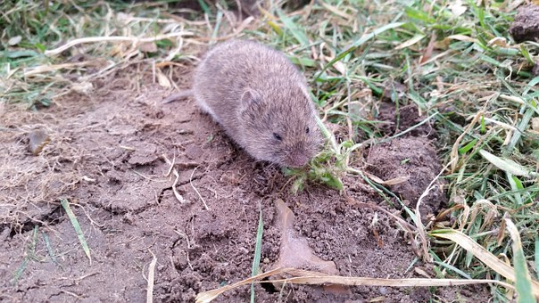 Vole Nager Mouse Rodent Animal Field Vole