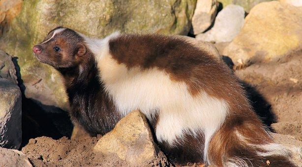 Skunk, Brown, Cute, Fur, Sweet, Creature