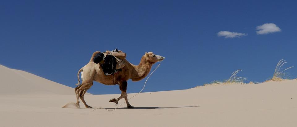 Camel, Desert, Sand, Mongolia