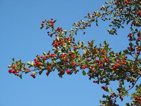 Beeren, Früchte, Rot