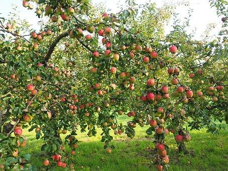 Apples, Apple Tree, Fruit, Red, Fresh