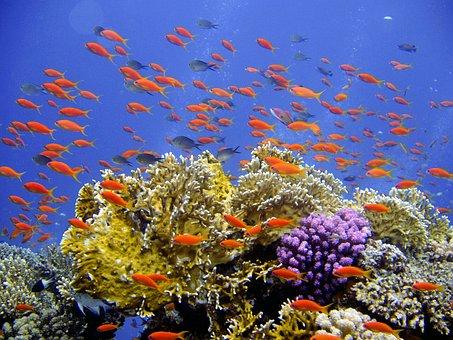 Dive, Underwater, Reef, Corals, Anthias