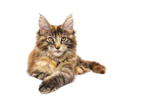 Katze, Tier, Haustier, Maine Coon