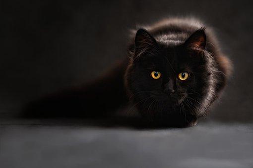 Maine Coon, Cat, Cat'S Eyes, Black Cat