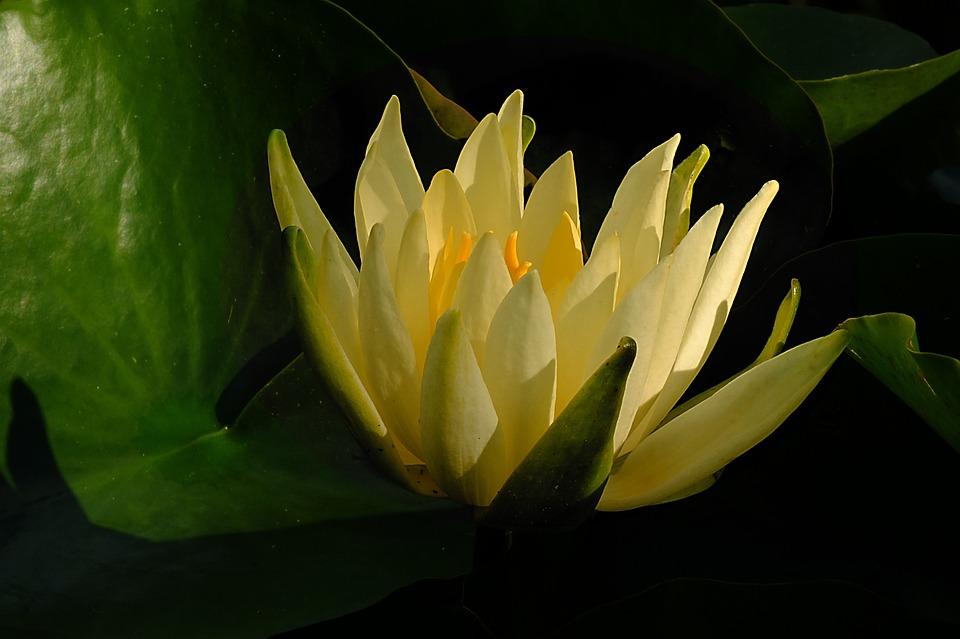 Seerose Wasserblume Blume Kostenloses Foto Auf Pixabay