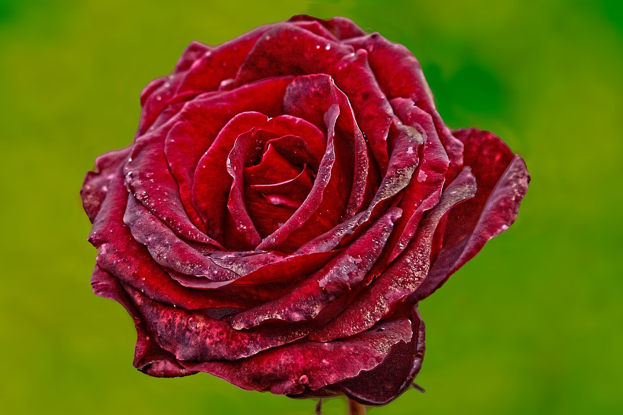 следующую розы цвета по возрасту просыпаться