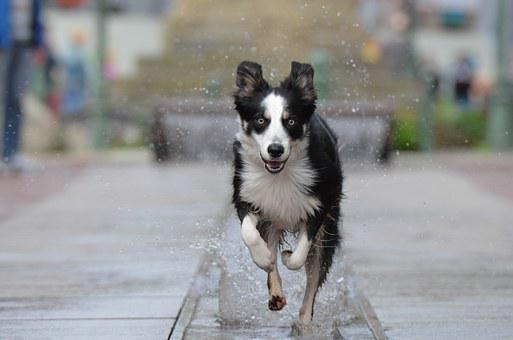 Border Collie, Stadtbrunnen