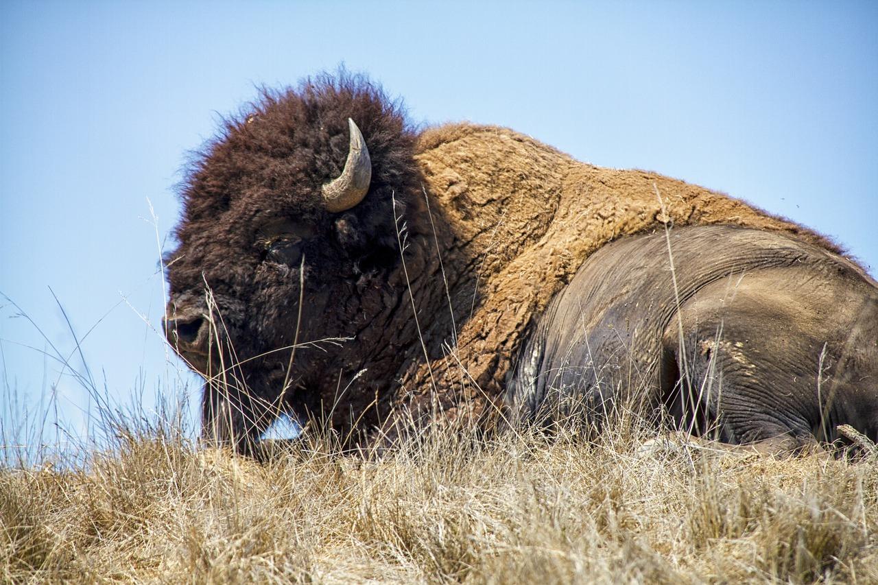 идти бизоны фото профессиональное вот что рассказывает