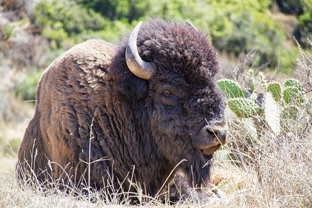 Free Photo Bison Buffalo Animal Wildlife Free Image