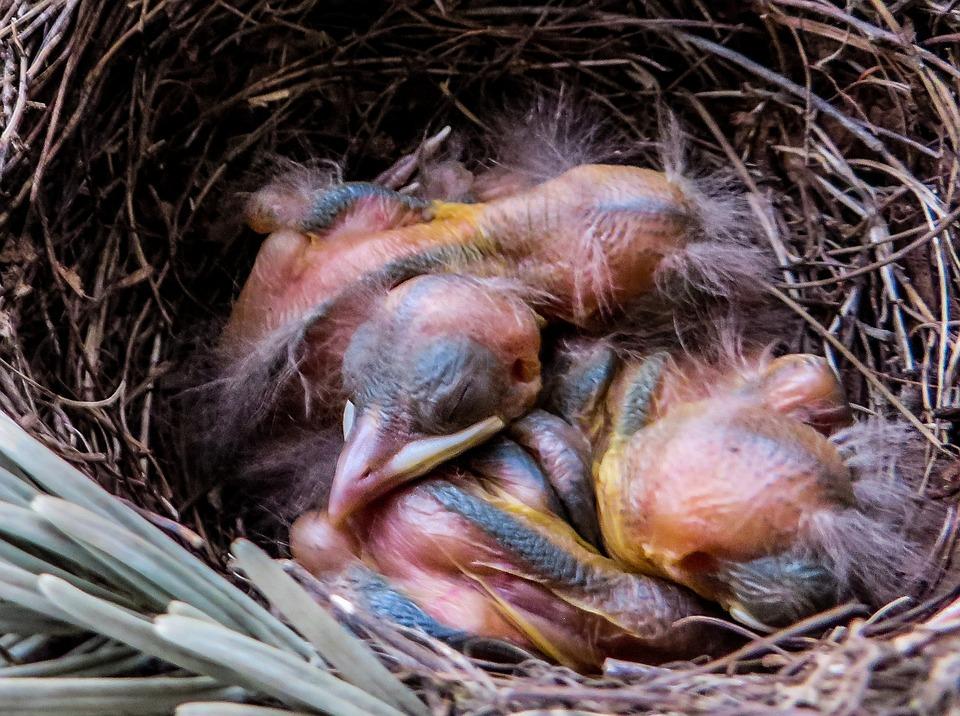 Veľké vtáky na mláďatá