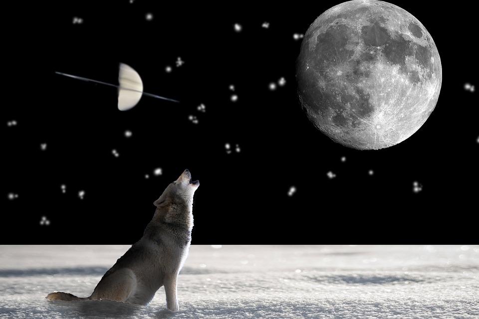 Loup, Des Animaux, Sauvages, Chien, Hunter, Prédateur