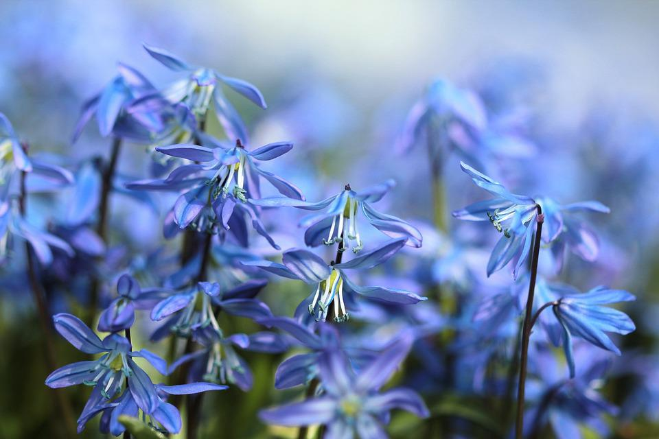 Bluebell Flowers Scilla Free Photo On Pixabay