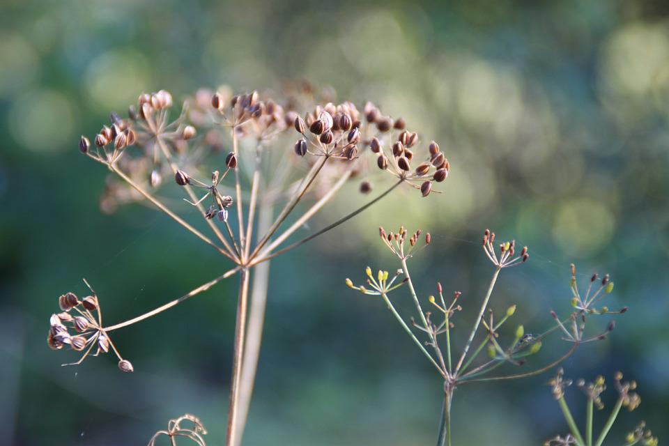 Dill, Herb, Summer, Nature, Sun, Seed