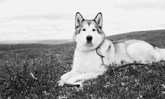 Alaskan Malamute - Top 10 Questions Answered