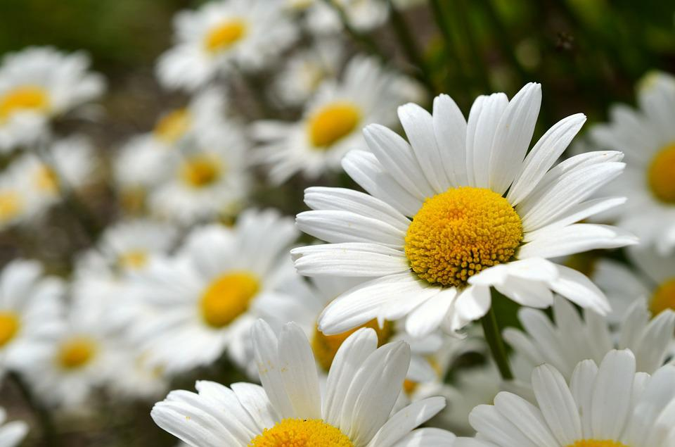 free photo daisies, flowers, leucanthemum  free image on pixabay, Beautiful flower
