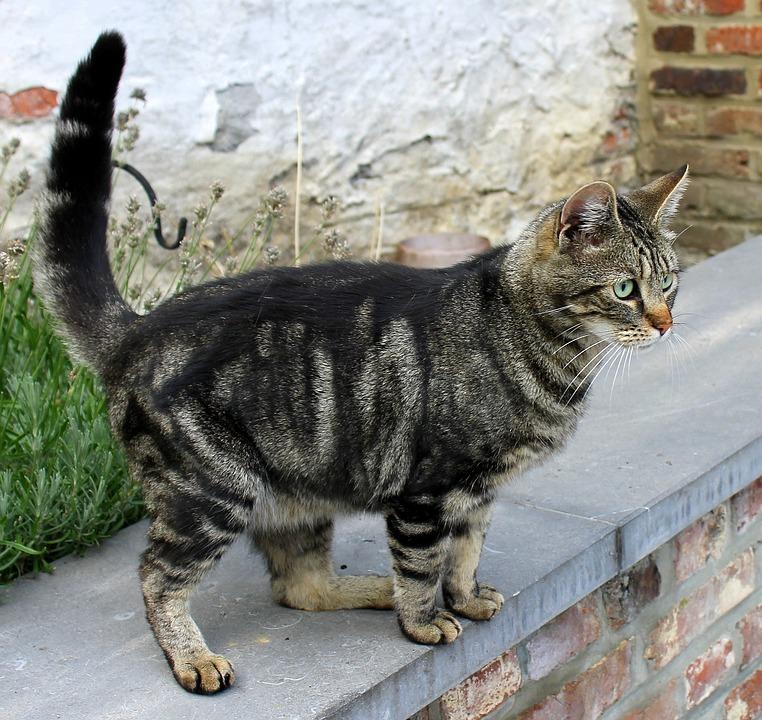 Gato, Malhado, Felino, Kitty, Bonito, Domesticado