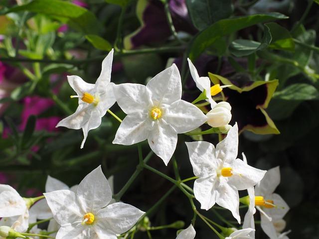 free photo flower flowers white star free image on pixabay 699788. Black Bedroom Furniture Sets. Home Design Ideas