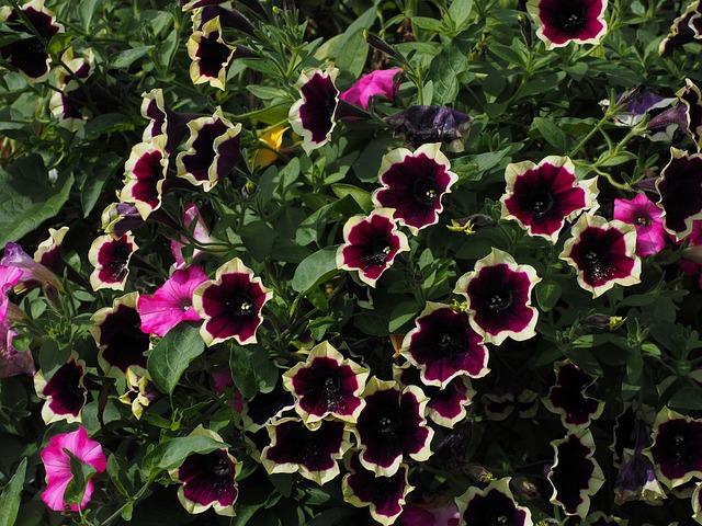 Petunia Flower Blossom · Free Photo On Pixabay