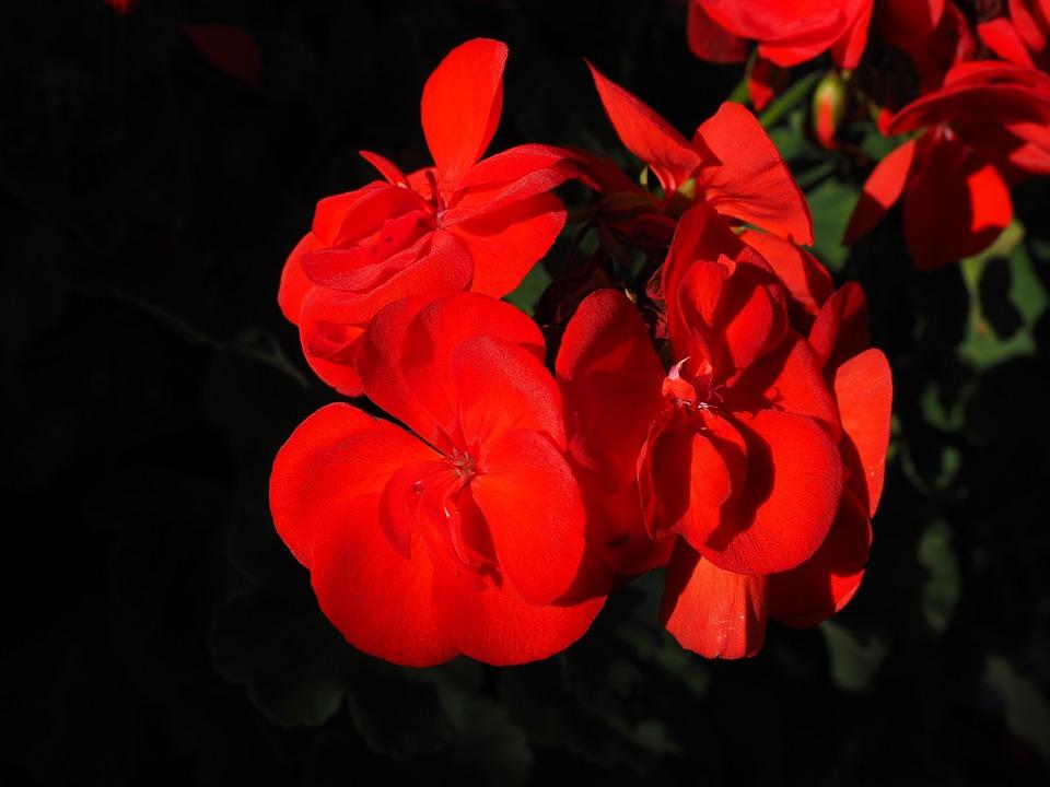 ゼラニウム, 赤, 植物, 花, カラフル, 庭のゼラニウム, ゼラニウムをハングします, コンテナ工場