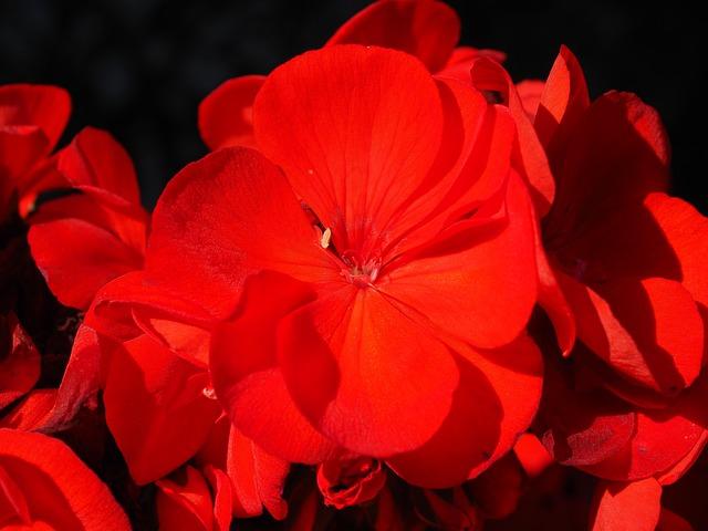 Foto gratis geranio rosso impianto fiori immagine - Geranio giallo ...