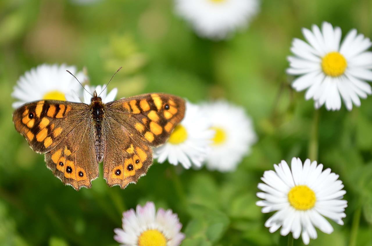 Картинки бабочки на ромашке, анимация добрый вечер