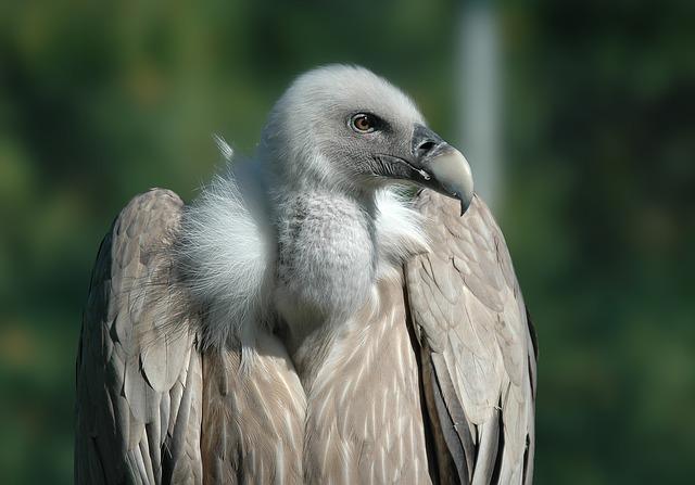 Photo gratuite vautour oiseau rapace animaux image gratuite sur pixabay 701360 - Image animaux gratuite ...
