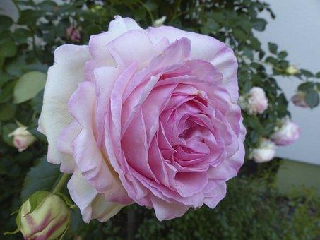 70 Gambar Mawar Putih Dan Merah Mawar Gratis Pixabay