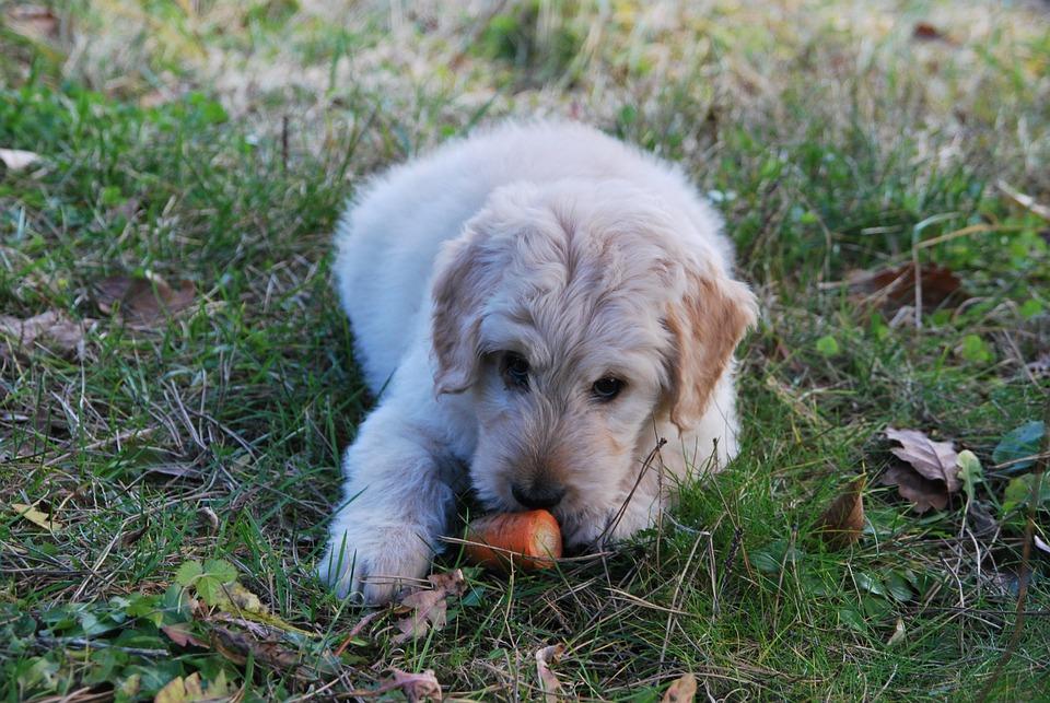 Dog, Carrot, Playing, Grass, Animal, Funny, Pet, Food