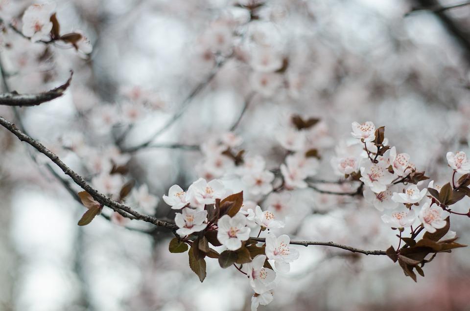 ciliegi primavera sardegna