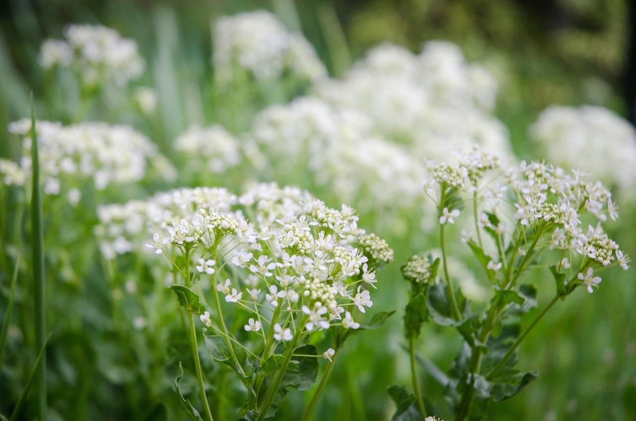 белые полевые цветы фото с названиями уклона крыши