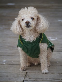 Dog, Toy Poodle, Pet, Animal, Pedigreed