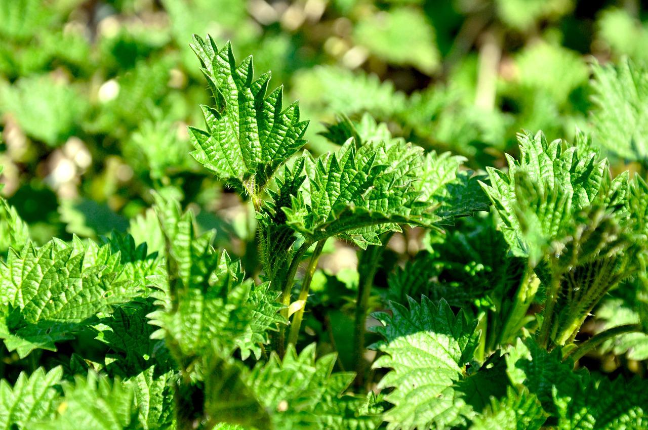 stinging nettle Stinging nettle is a herb which has medicinal properties it can be used in soups, making cheeses stinging nettle has many benefits for women which is why it shouldn't be a surprise it can also help.