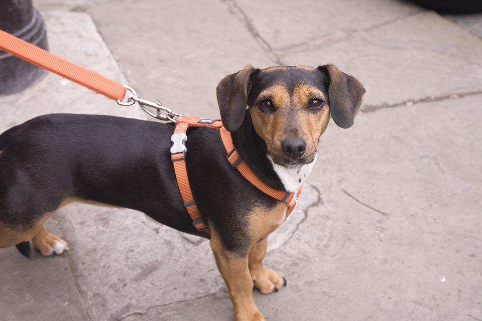 Hund, Hunden BÃ¥ndtvang, Valp, Doggy, Holder