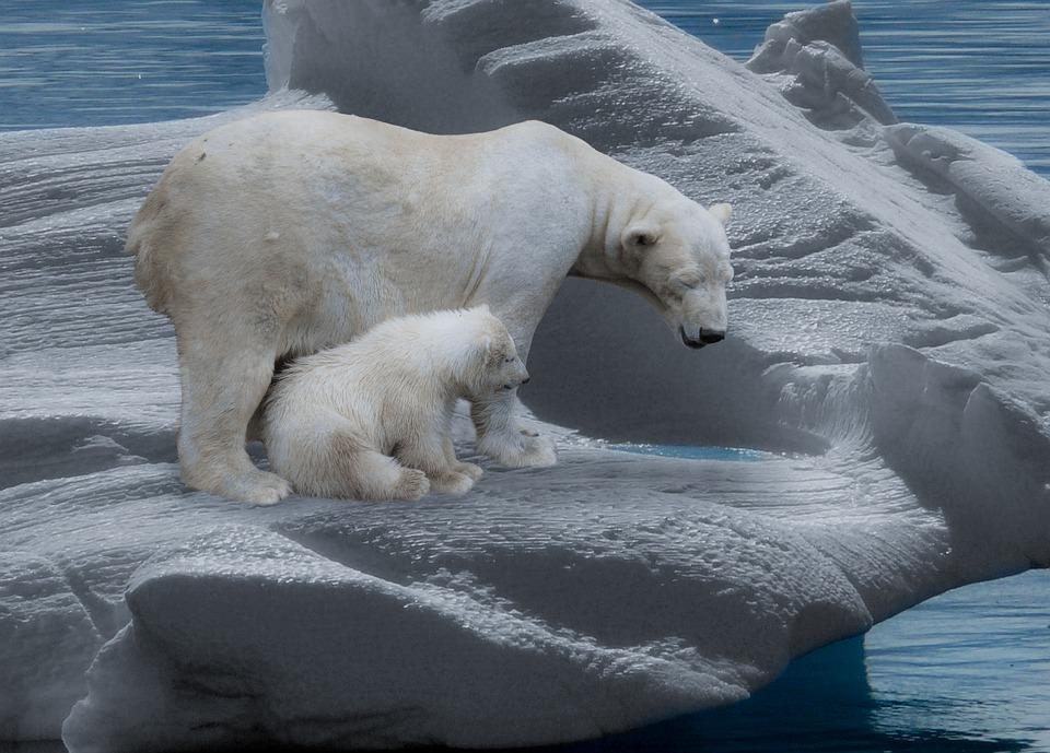 Polar Bear, Polar Bears, Predator, Iceberg, Cold