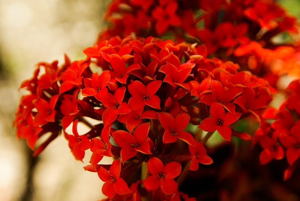 Fleurs rouges jardin photo gratuite sur pixabay for Plante rouge de noel