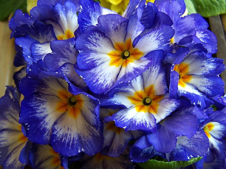 Fiori di primavera blu foto gratis su pixabay for Primule immagini