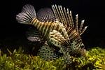 lionfish, aquarium