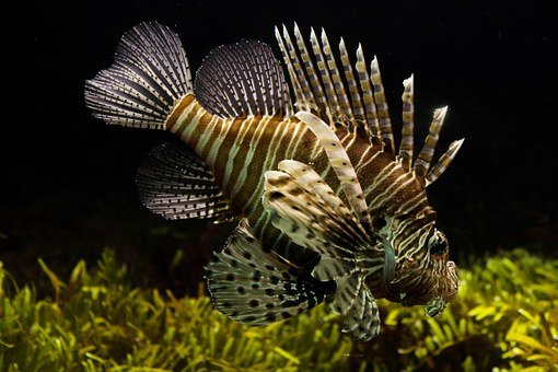 Lionfish, Aquarium, Sealife, Tropical